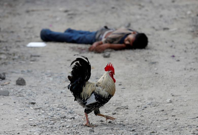 A rooster walks past the dead body of a Barrio-18 gang member in San Pedro Sula, Honduras, September 28.